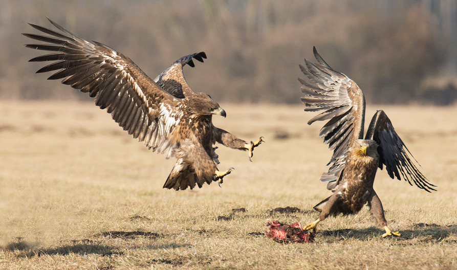 17 WHITE TAILED EAGLE TRYING TO SNATCH PREY by John Hunt