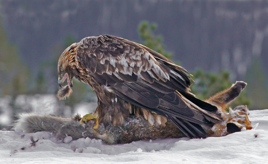 18 GOLDEN EAGLE WITH FOX CATCH by John Hunt