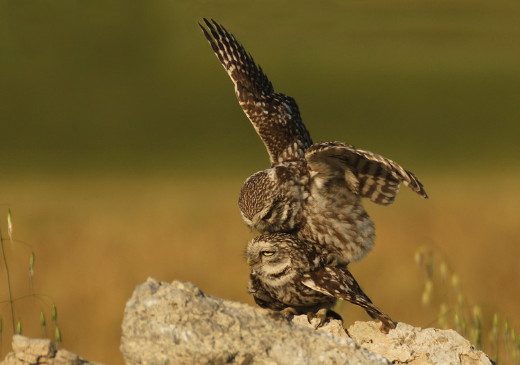 Group 1 17 LITTLE OWLS MATING by John Hunt