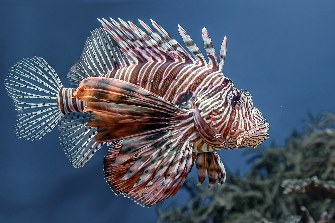 17 (PRINT) LIONFISH by Pam Sherren