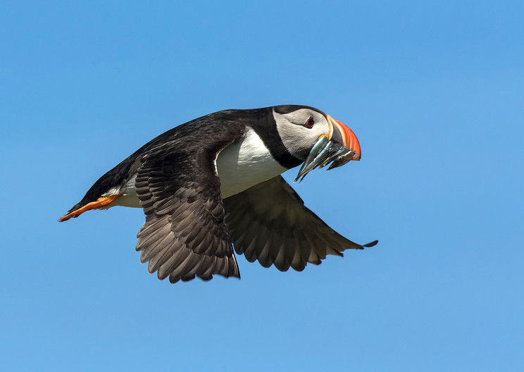 17 PUFFIN WITH FISH by Glenn Welch