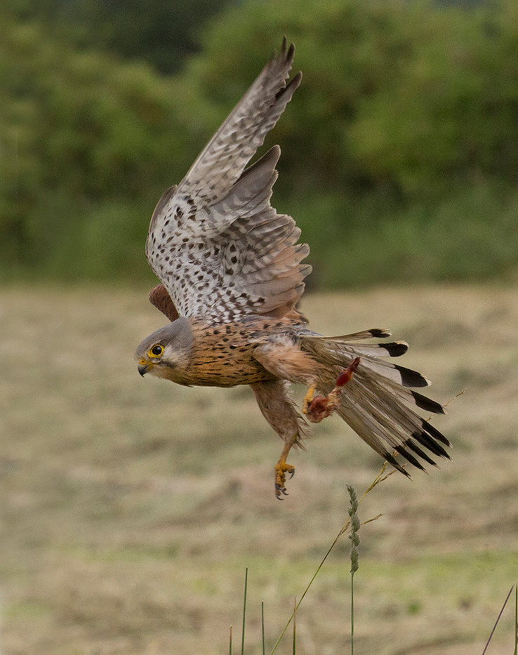 GROUP 1 17 KESTREL SUCCESSFUL CATCH by John Hunt