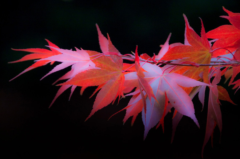 GROUP 1 18 ACER AUTUMN by Peter Tulloch