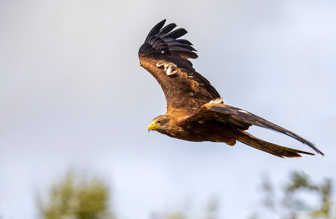 16 BLACK KITE ON THE PROWL by Philip Easom