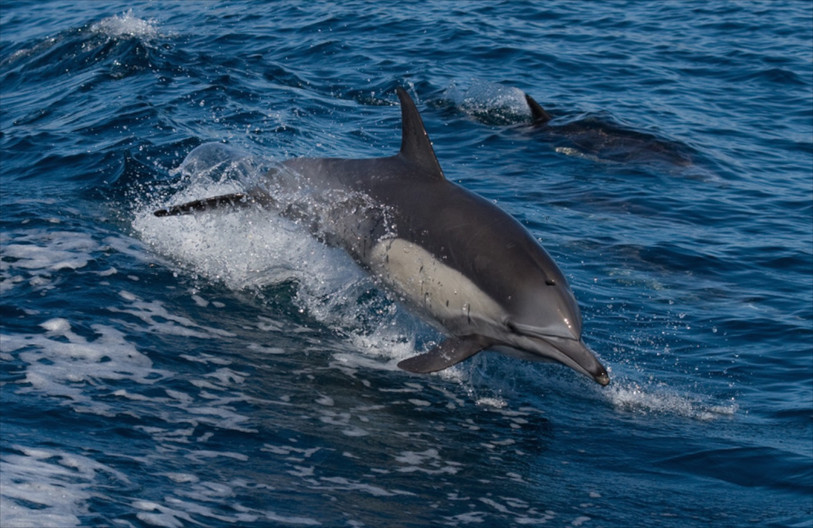 18 COMMON DOLPHIN by Sue Pennicott