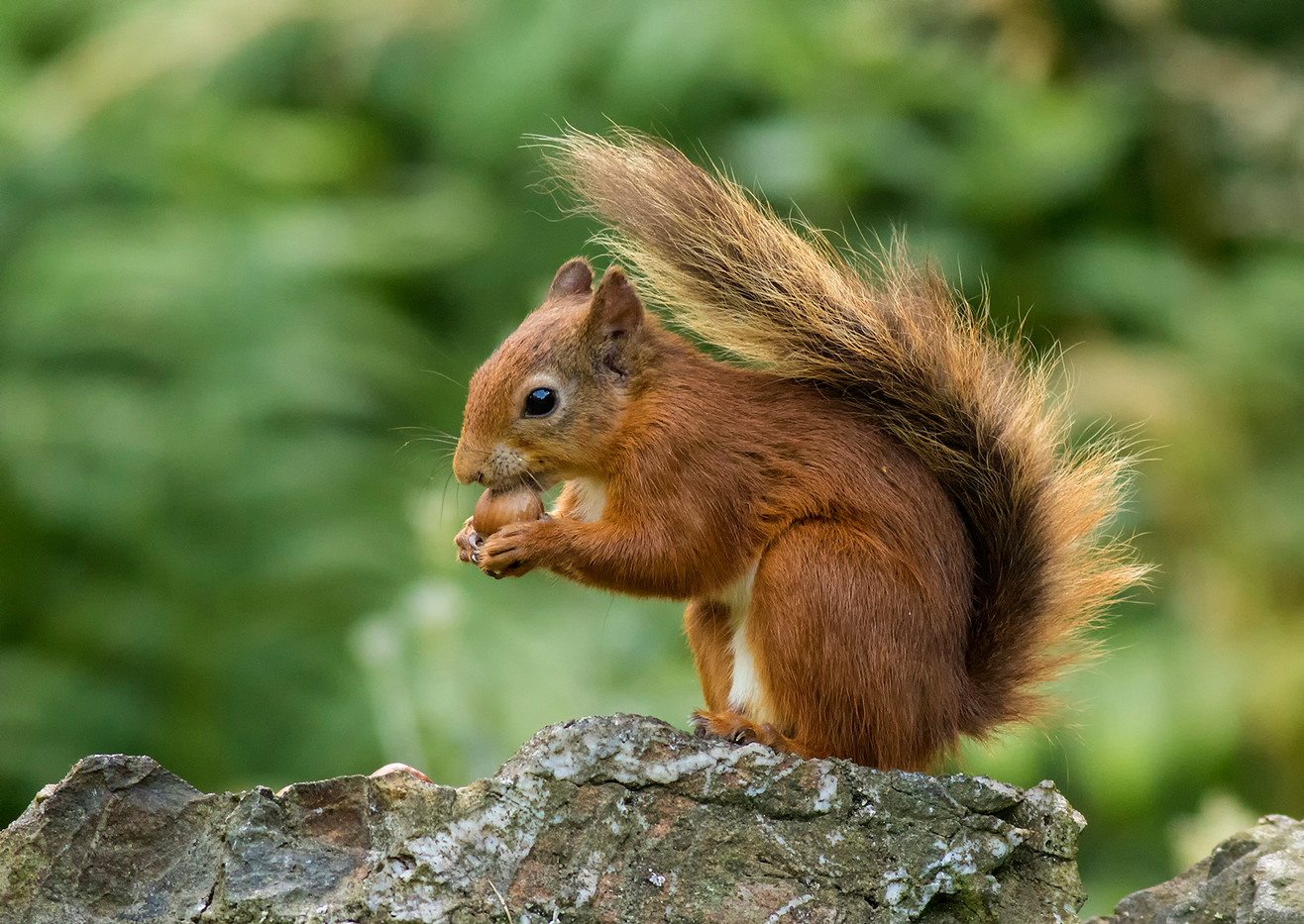 18 RED SQUIRREL WITH NUT by Glenn Welch