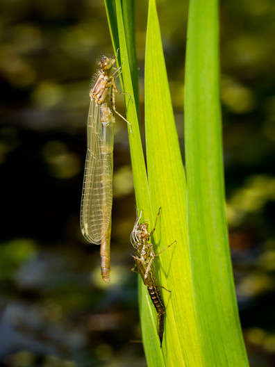 19 DAMSELFLY WITH NYMPHAL CASE by Roger Wates