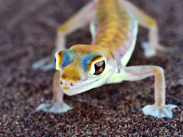 15 HEAD DETAIL PALMETTO GECKO by Peter Tulloch