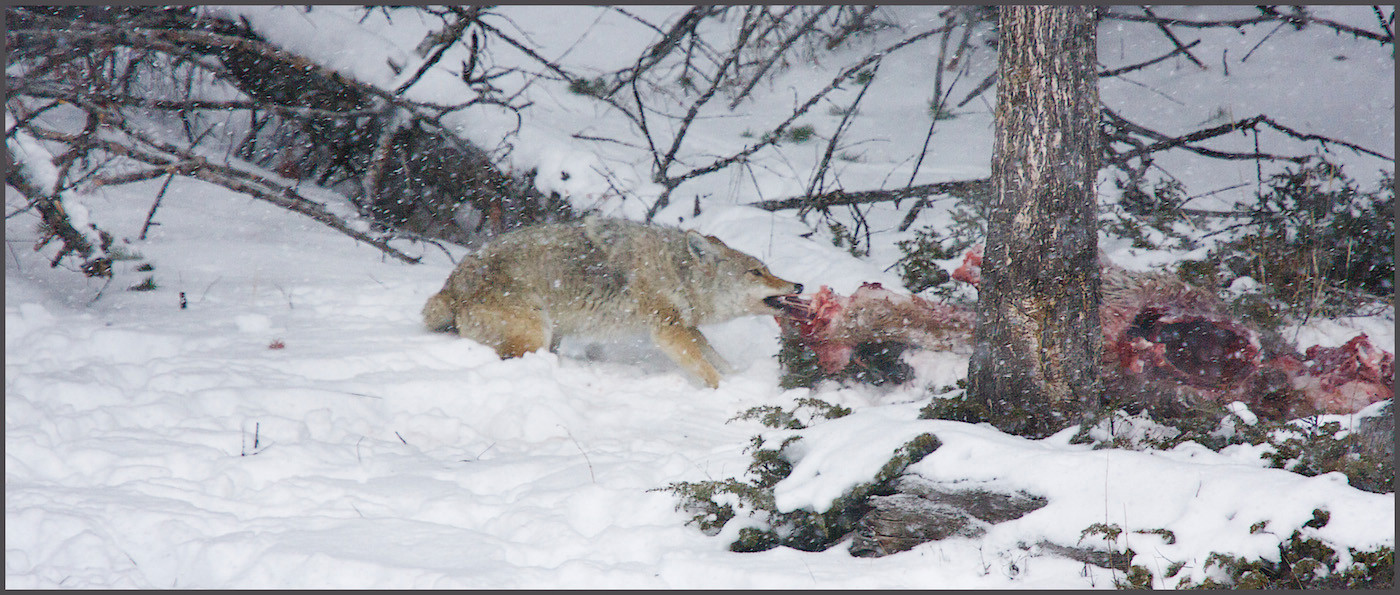 GROUP 1 19 COYOTE WITH ELK CARCASS by Carole Lewis
