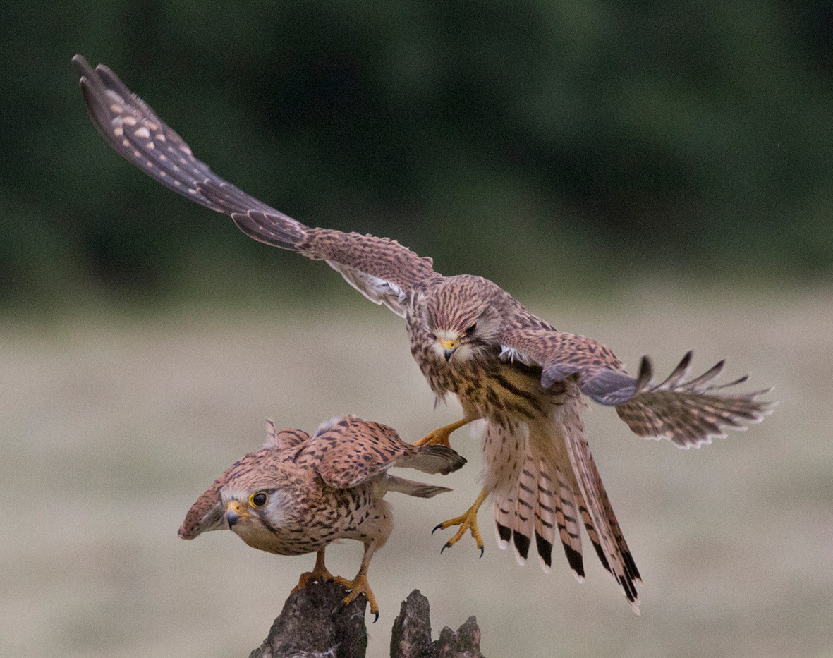 GROUP 1 19 JUVENILE & ADULT KESTREL by John Hunt