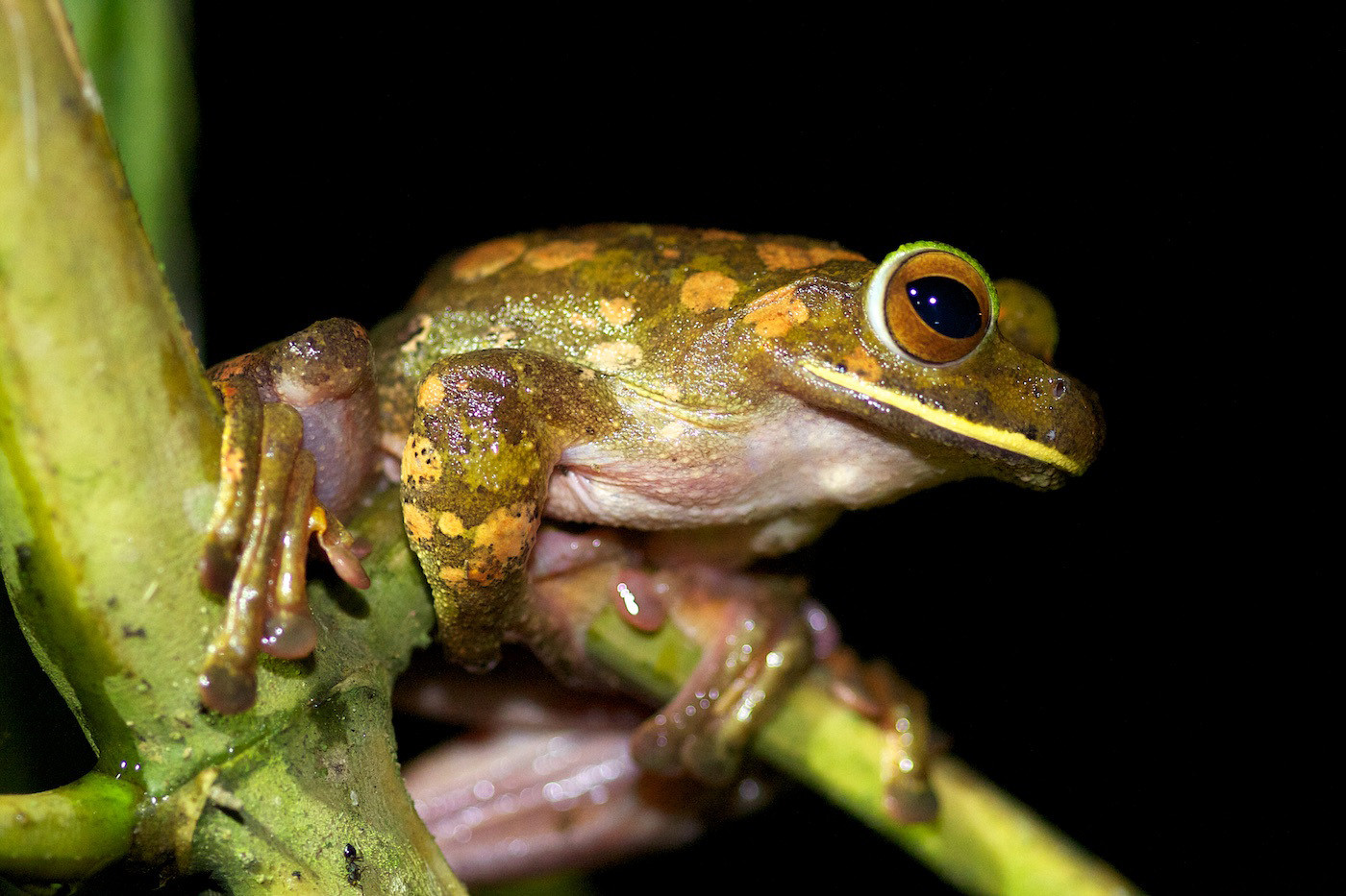 17 WHITE LIPPED TREE FROG by Sue Pennicott