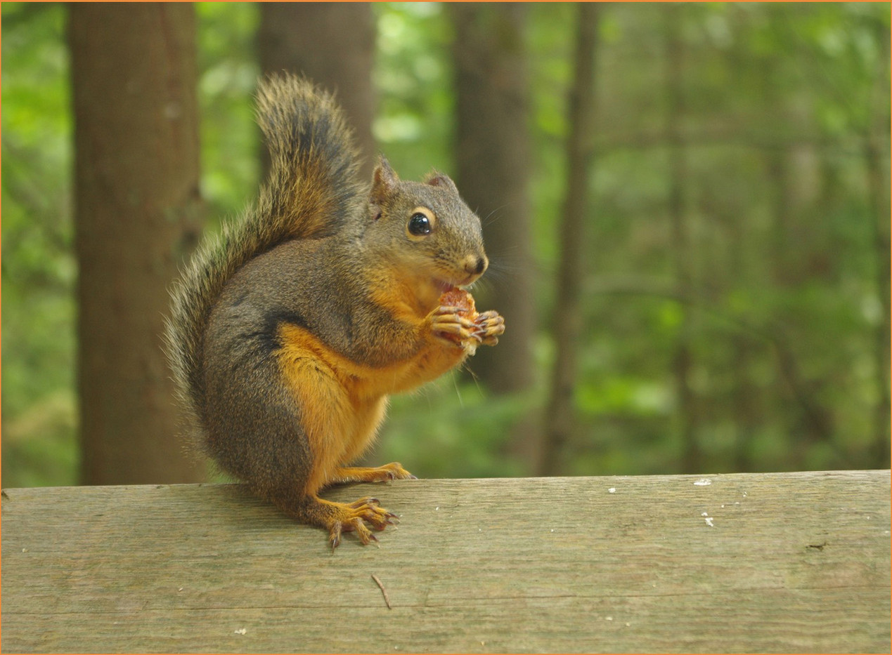 13 DOUGLAS SQUIRREL TAMIASCIURUS by Ron Gaisford