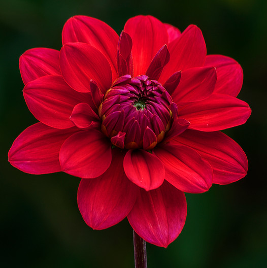 17 RED DAHLIA by John Lewis
