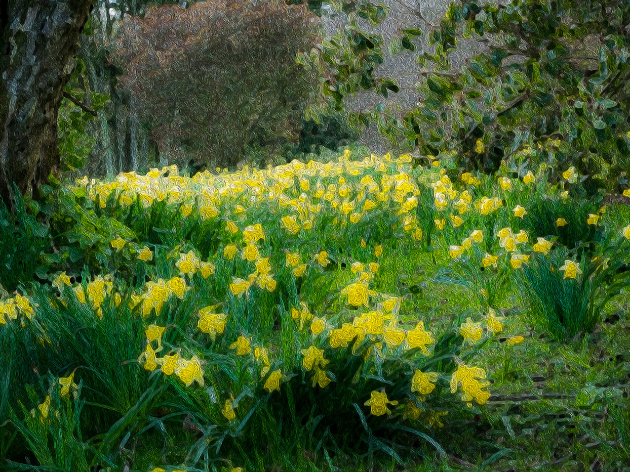 18 DAFFODIL NARCISSUS IMPRESSION by Terry Day