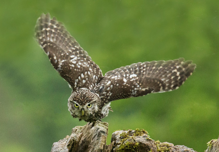 20 LITTLE OWL EYES ITS PREY by John Hunt