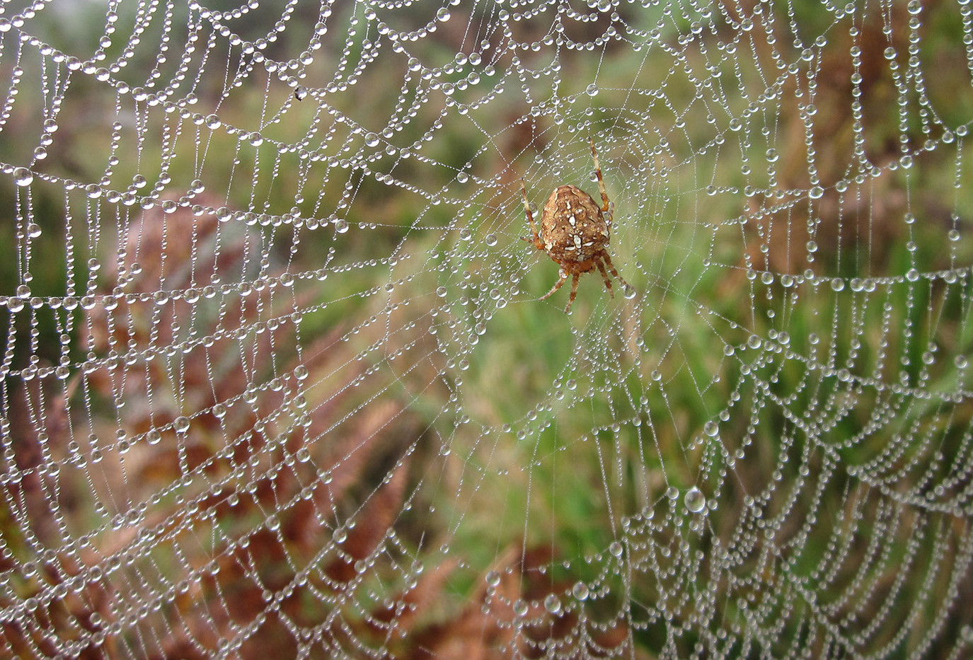 13 ARANEUS DIADEMATUS SPIDER IN DEW-LADEN WEB by Colin Burgess