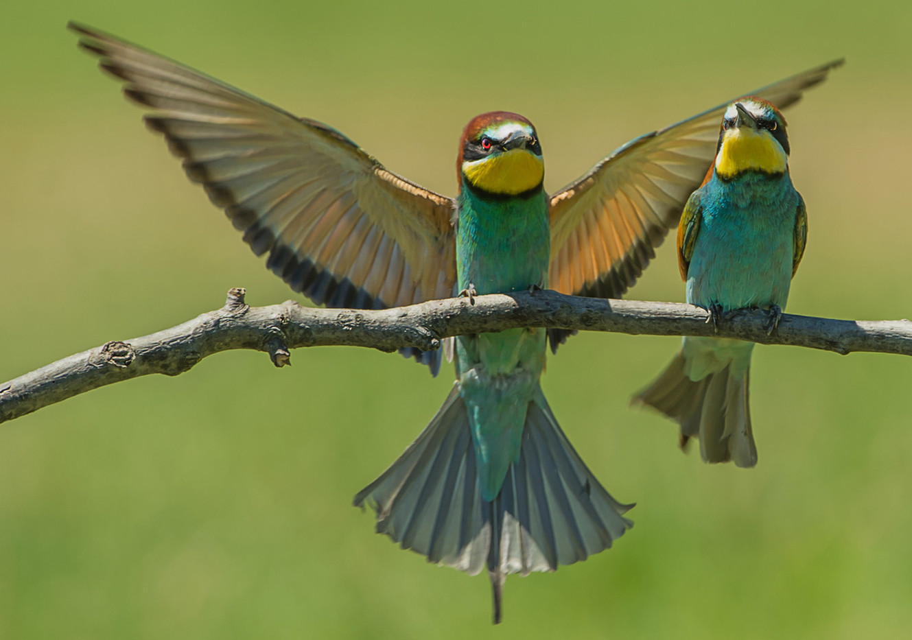 GROUP 1 19 BEE-EATER DISPLAY by Len Kemp