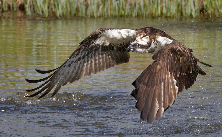 19 OSPREY SEARCHING FOR FISH by John Hunt