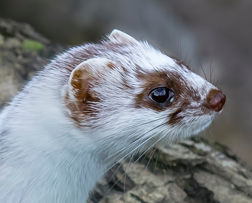 18 STOAT WITH WINTER COAT by David Peek