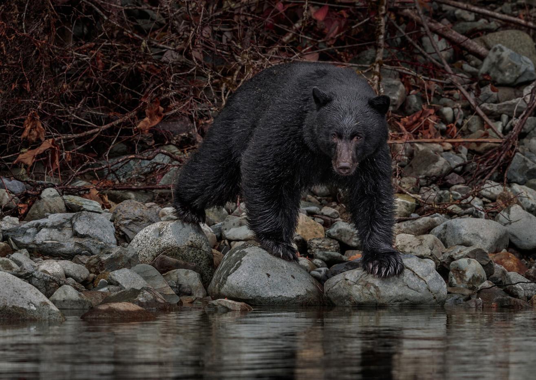 19 WILD BLACK BEAR STARE by David Godfrey