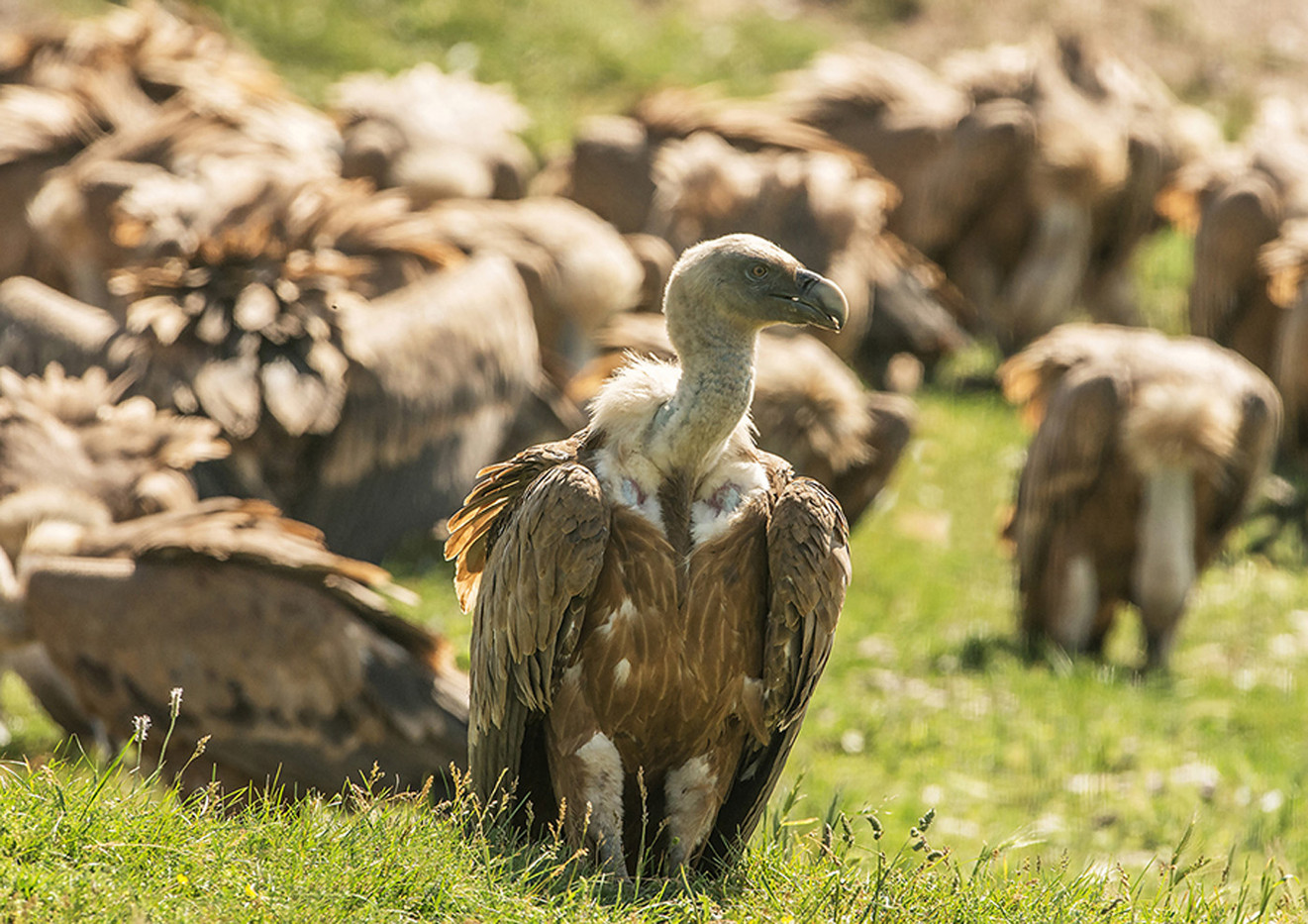 GROUP 1 16 DIGESTIVE MOMENT THE GRIFFON VULTURE by Len Kemp