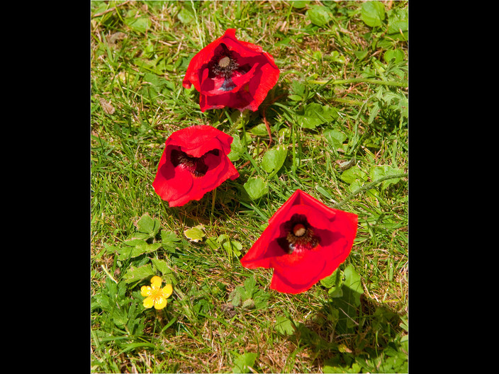 POPPIES by Swales Parry