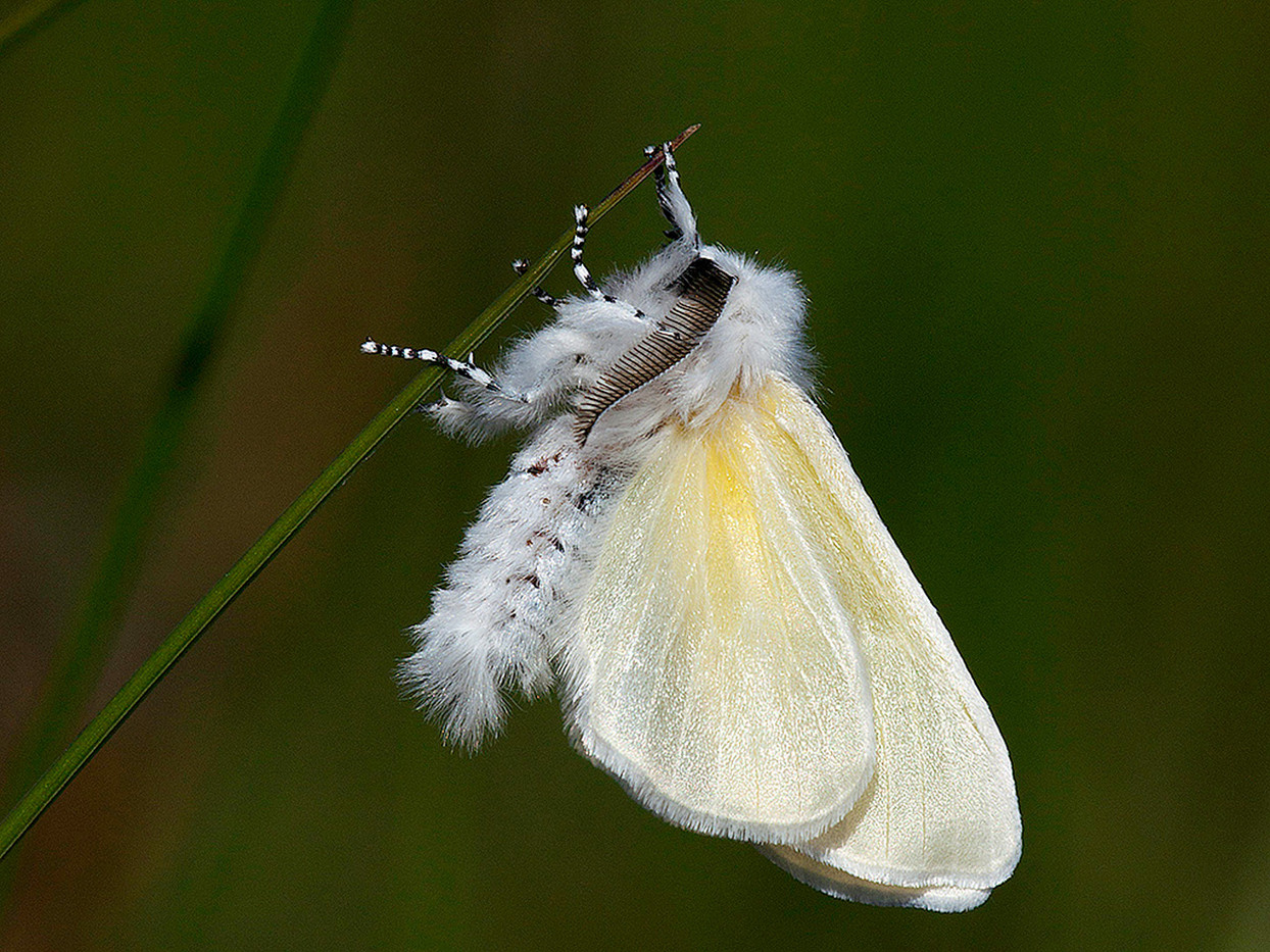 GROUP 1 19 WHITE SATIN MOTH by Douglas Hands