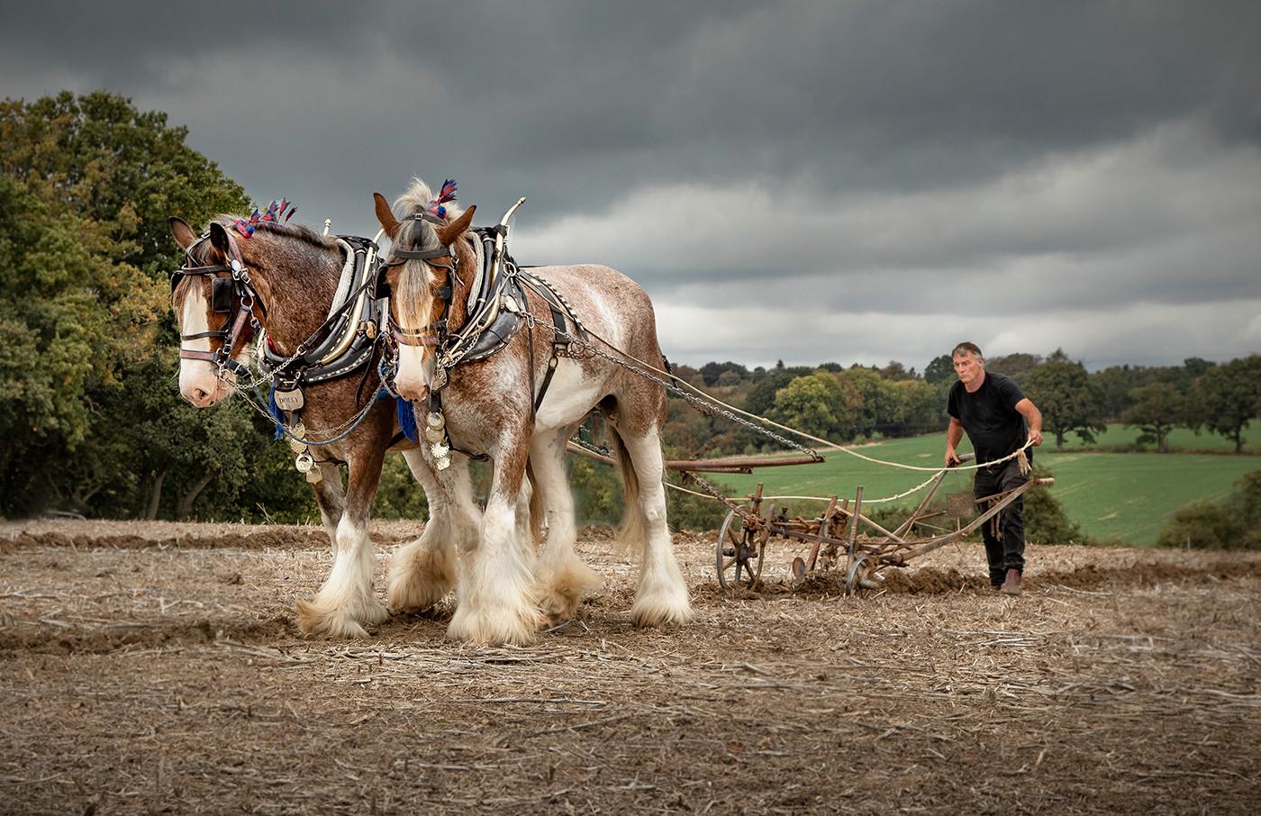 17 PLOUGHING BY HEAVY HORSES by David Peek