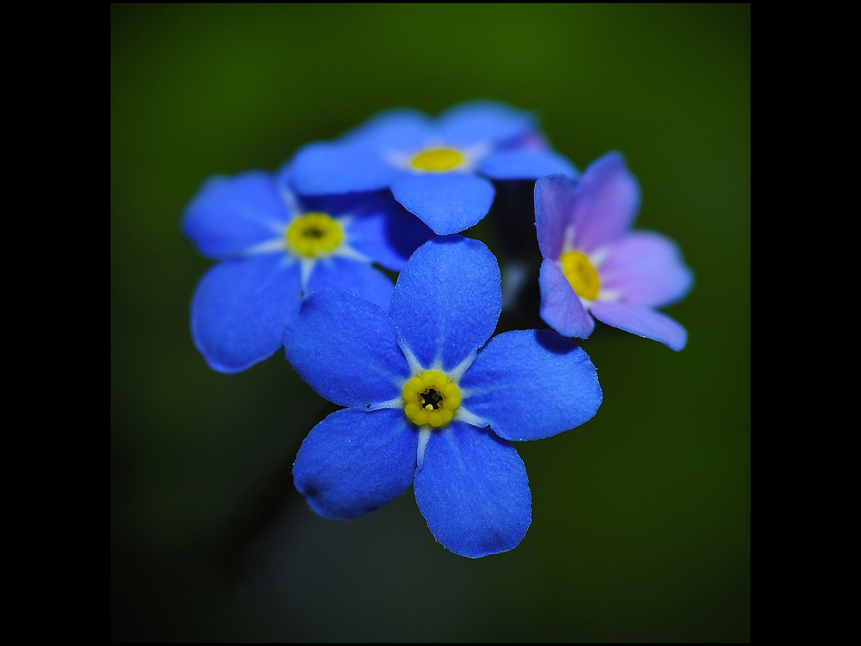 19 FORGET-ME-NOT by Mick Dudley
