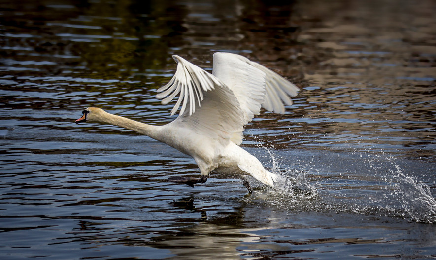 16 SWAN TAKING OFF by Tony Hill
