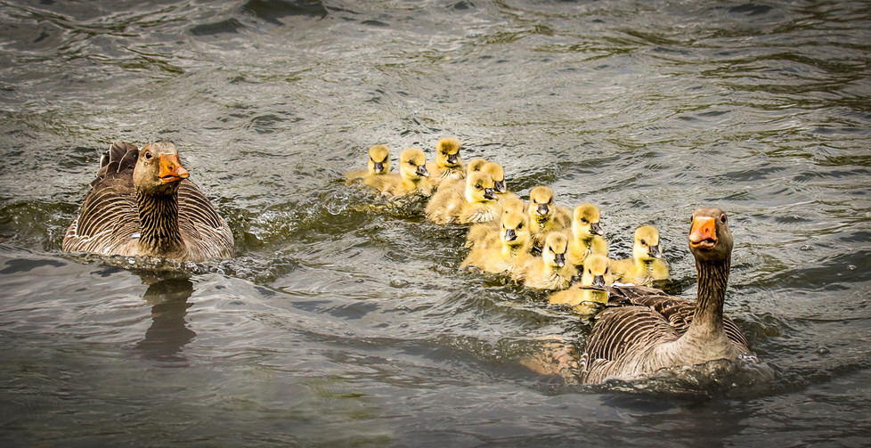 16 GAGGLE OF GOZLINGS by Tony Hill
