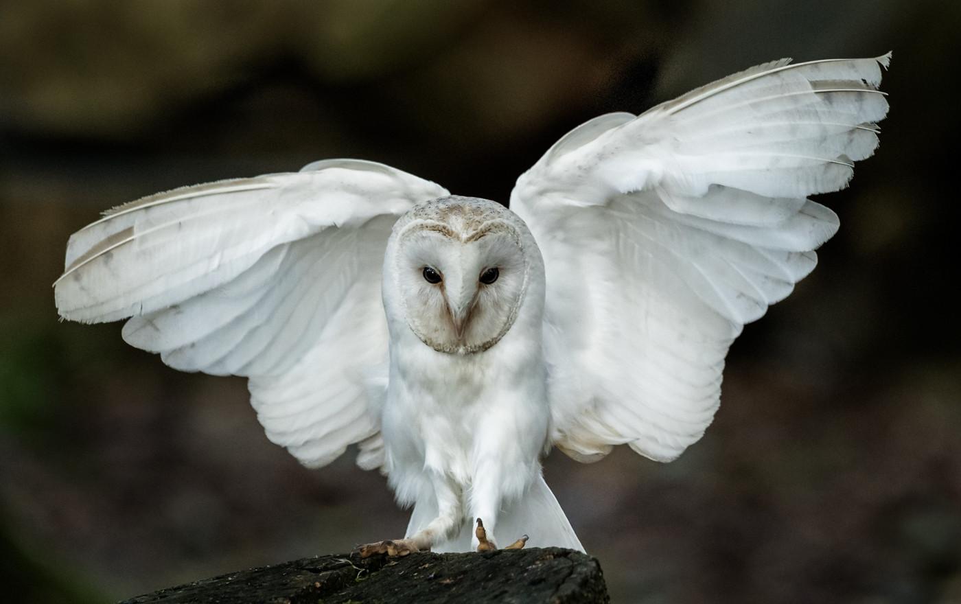 BARN OWL TOUCHDOWN by David Godfrey