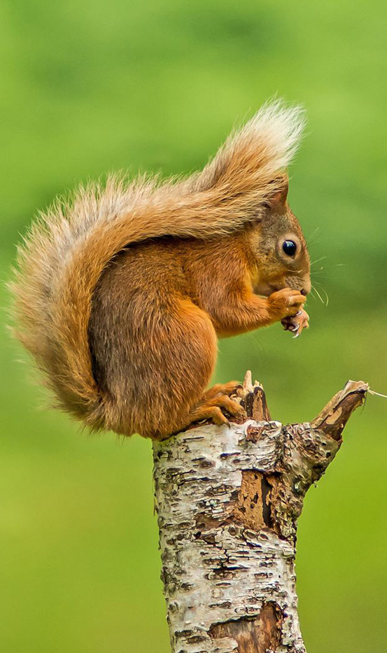 18 RED SQUIRREL by Len Kemp