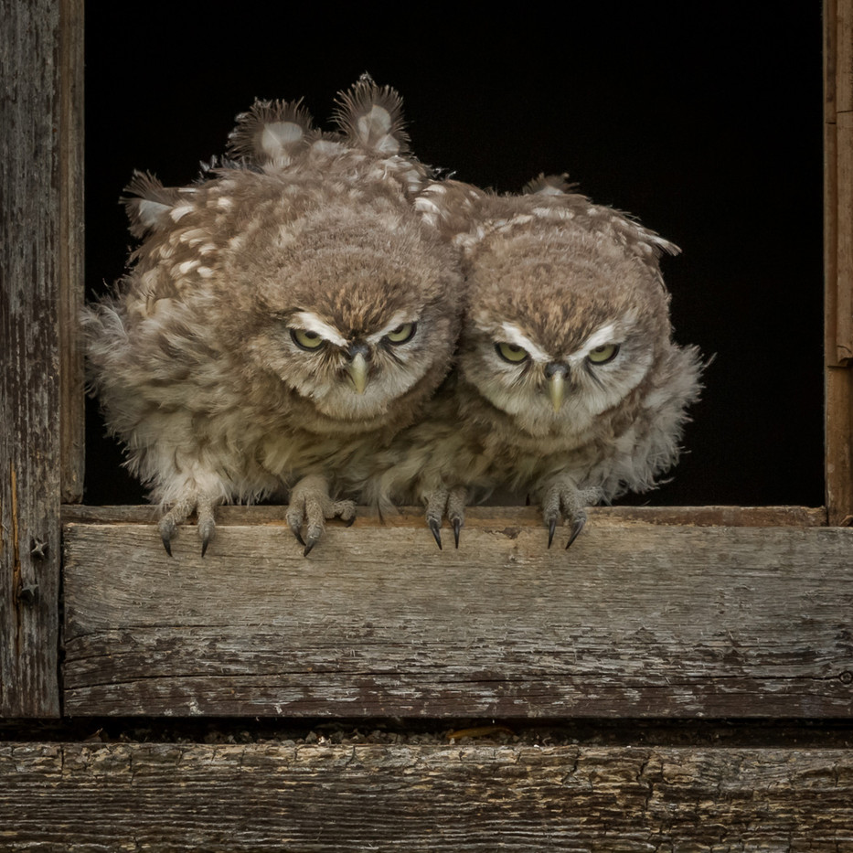 18 WILD LITTLE OWL CHICKS by David Godfrey