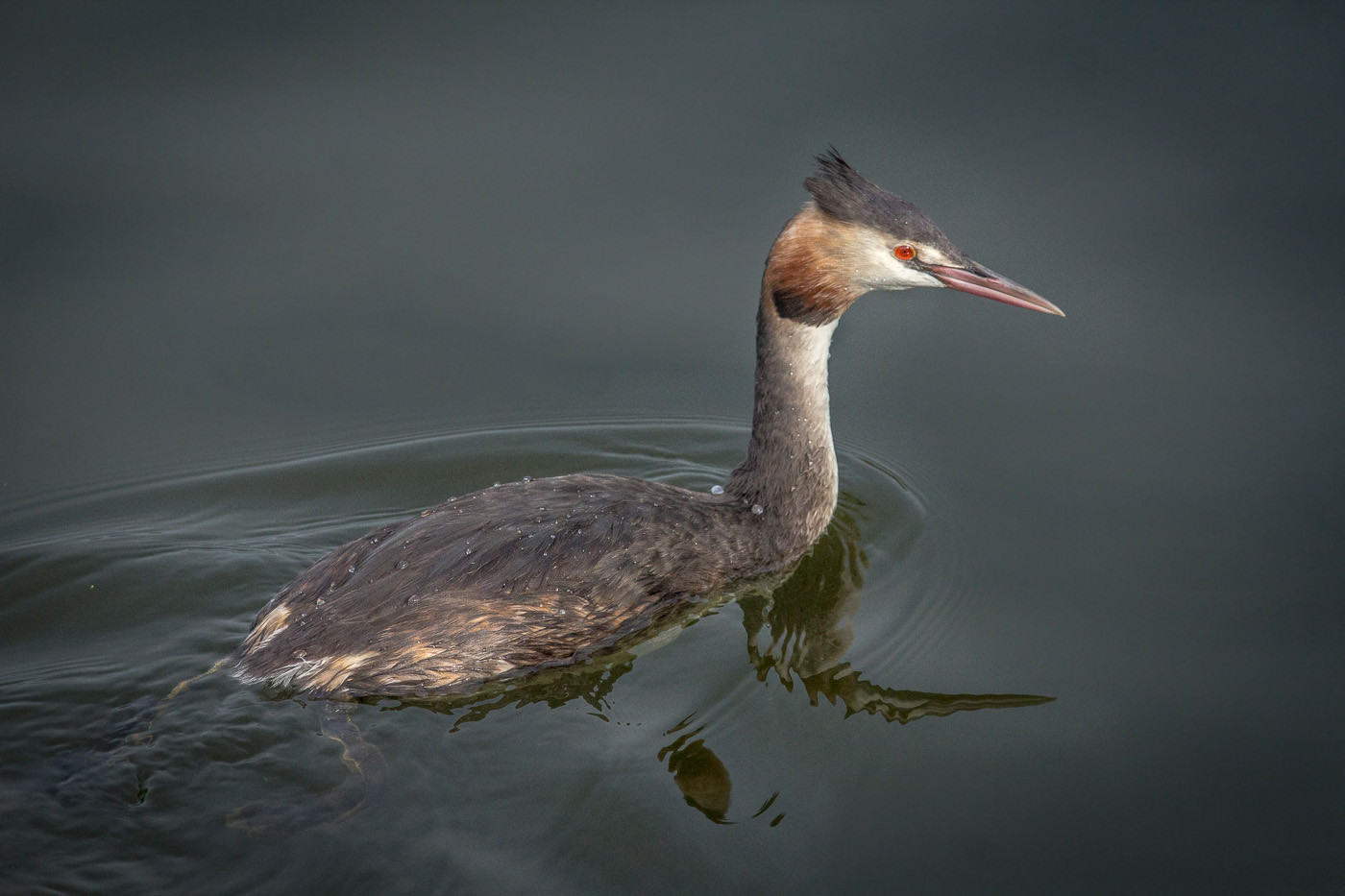 13 CRESTED GREBE by Tony Hill