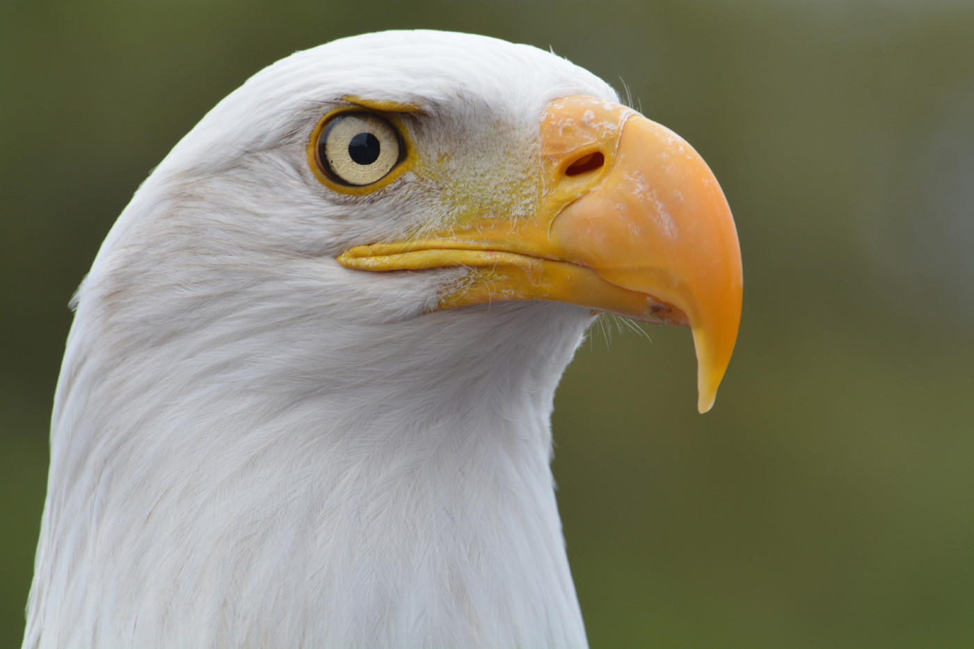 17 BALD HEADED EAGLE by Helen Mossman