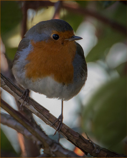 15 ROBIN WITHOUT CHRISTOPHER by Colin Burgess