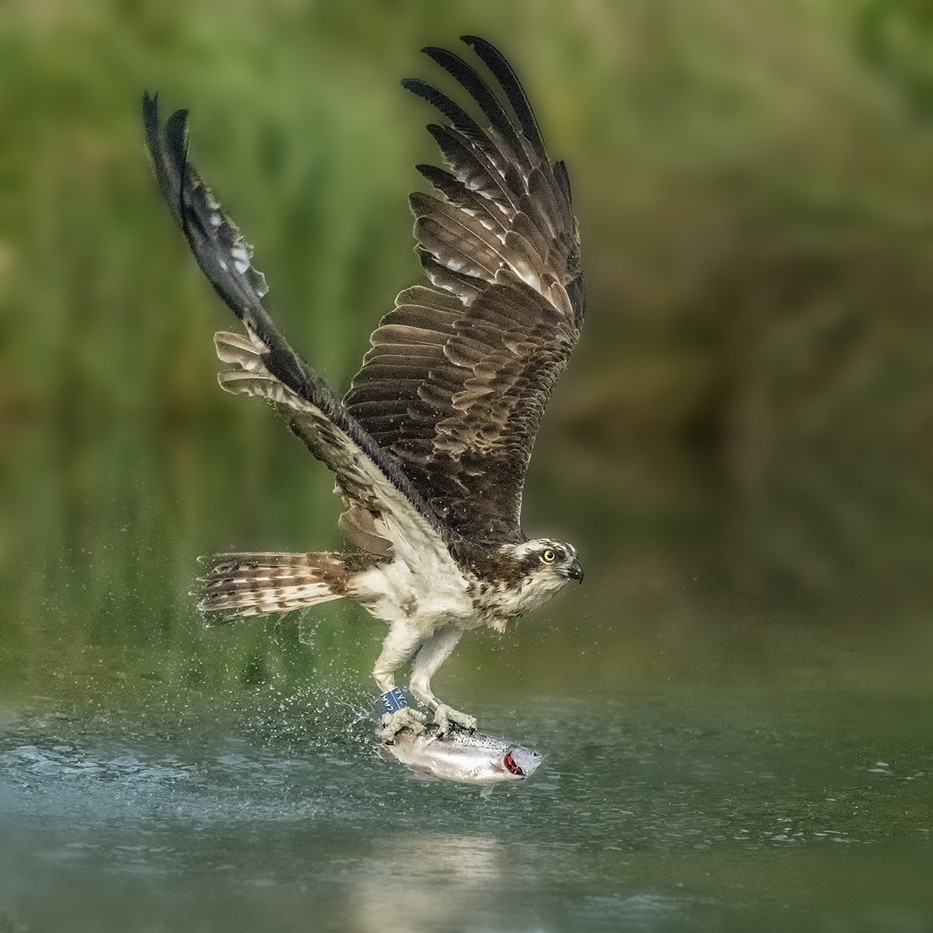 20 OSPREY WITH CATCH by Alan Cork