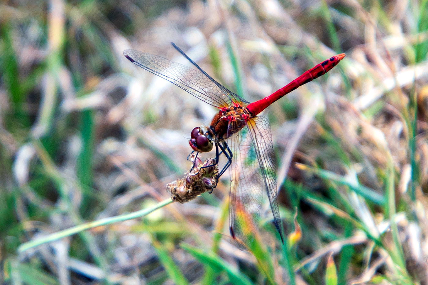 15 (PRINT) RUDDY DARTER by Philip Easom
