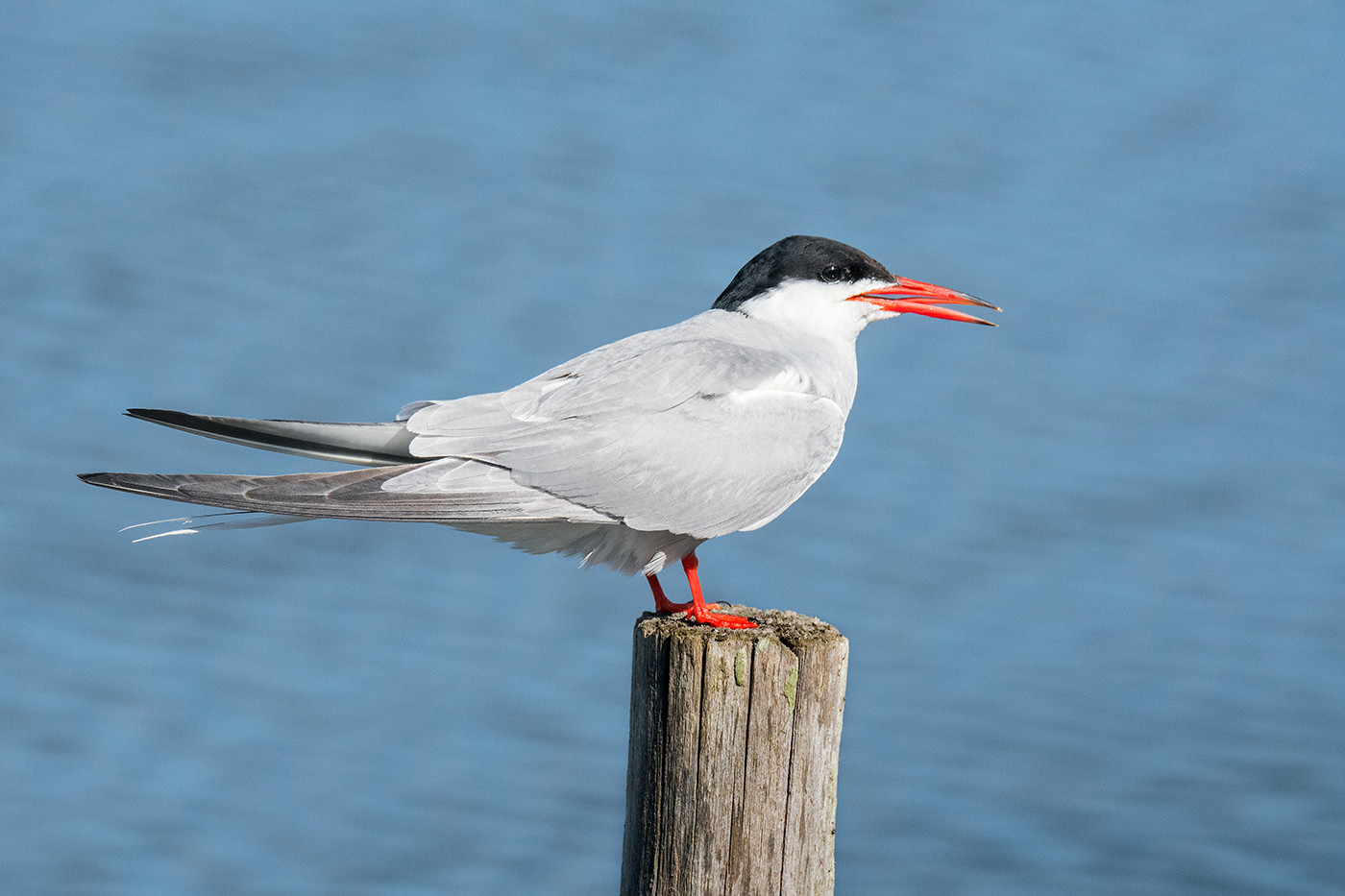 17 COMMON TERN by John Butler