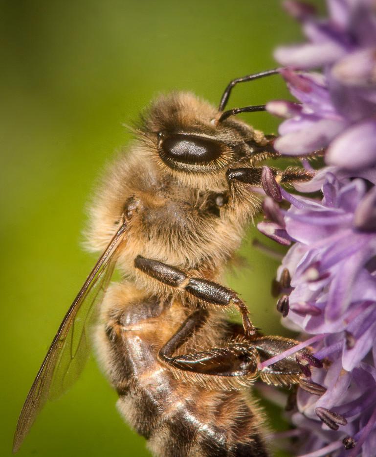 17 HONEY BEE by Tony Hill
