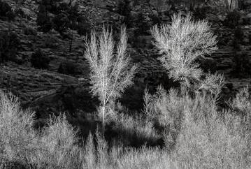 15 COTTONWOOD TREES IN WINTER by Pam Sherren
