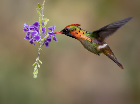 HOVERING AT THE FLOWERS by David Godfrey