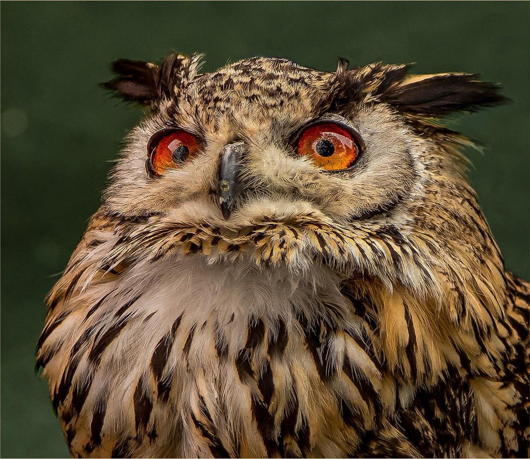 18 LONG EARED OWL by Sonia Peek