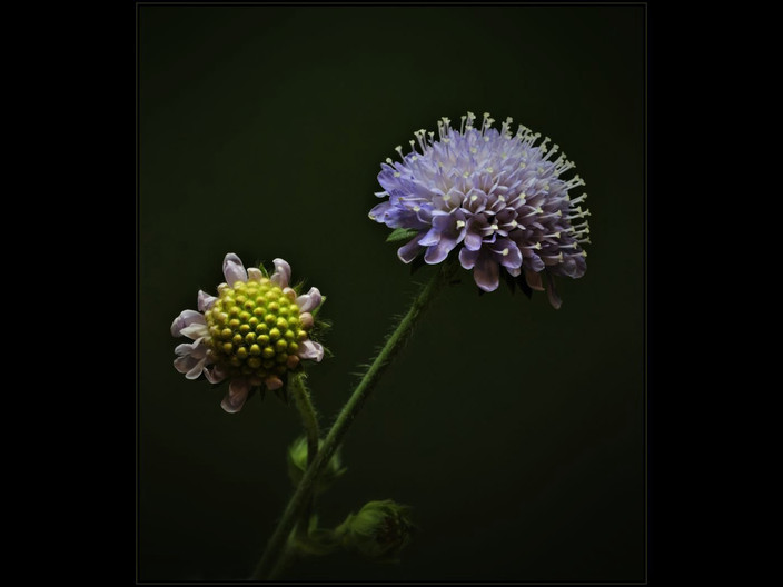 GROUP 1 17 FIELD SCABIOUS by Mick Dudley