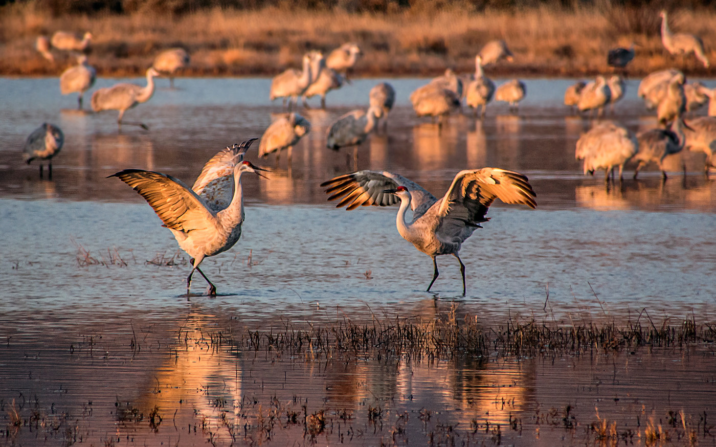 18 DANCING SANDHILL CRANES AT DAWN by Pam Sherren