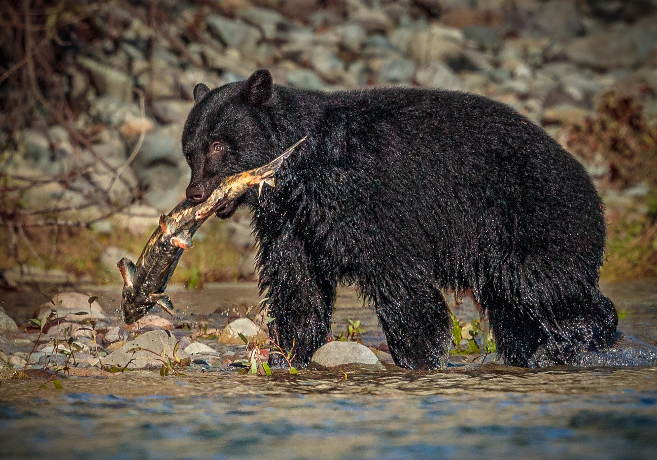 19 (PRINT) BLACK BEAR AND CHINOOK SALMON CATCH by David Godfrey
