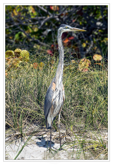16 GREAT AMERICAN BLUE HERON by Mike Shave