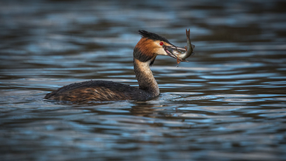 20 A GREAT CRESTED GREBE GRAPPLES WITH CATCH by Glenn Welch