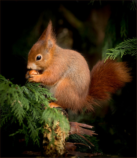 20 RED SQUIRREL by Sonia Peek